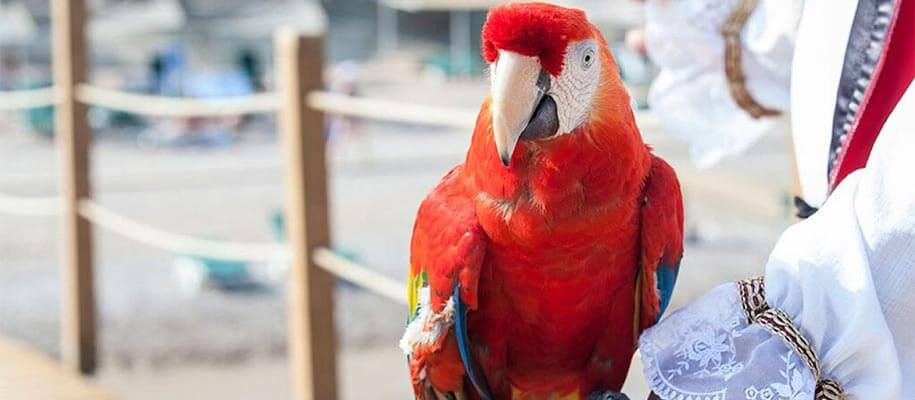 Why are parrots associated with pirates ?