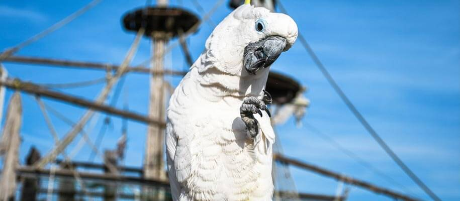 Why did pirates have parrots as pets ?